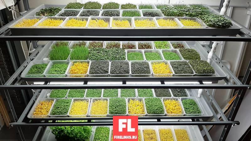 Бизнес идеи с минимальными вложениями: продажа микрозелени